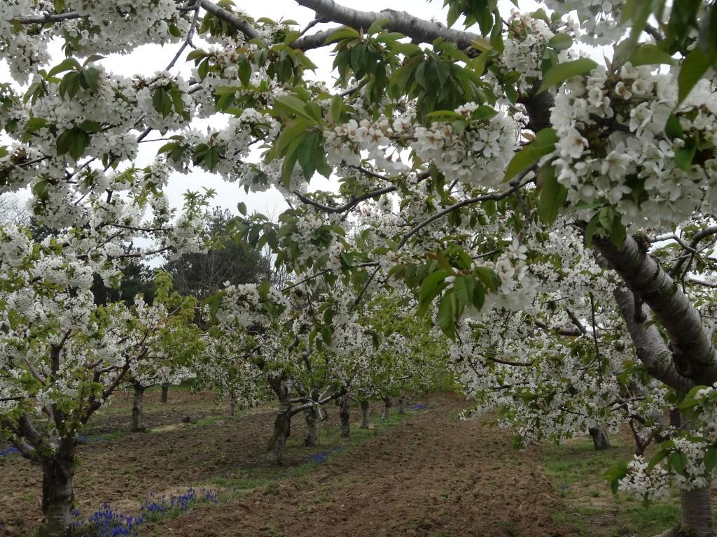 Cherries trees in full bloom.